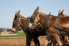 трудные лошади вспахивают работу Стоковое Изображение