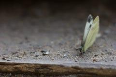 Труп бабочки Стоковое Фото