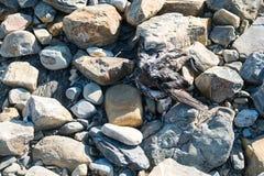 Труп птицы на взморье на утесах Стоковые Фотографии RF