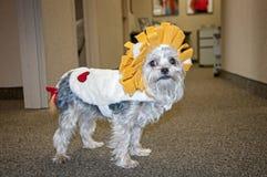 Трусливый костюм льва Стоковые Фотографии RF