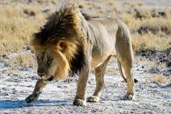 Трусливый мужской лев Стоковое Фото