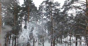 Трутень леса зимы Заморозок на сосне видеоматериал