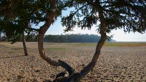 Трутень летает назад через красивые эксцентричные переплетаннсяые деревья видеоматериал
