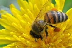 Трутень сидя на желтом цветке Стоковая Фотография RF
