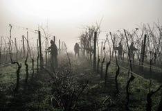 Трудная работа в винограднике Стоковая Фотография