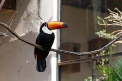 Трудный вопрос Toucan Стоковое фото RF