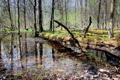 Трясина леса Стоковая Фотография