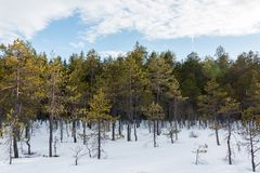трясина сосны Карлик-кустарника весной Стоковая Фотография