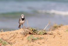 Трясогузка отдыхая na górze скалы вдоль пляжа Стоковое фото RF
