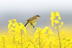 трясогузки сидят на неимоверно желтом рапсе стоковое фото