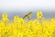 Трясогузки сидят на неимоверно желтом рапсе стоковые фотографии rf