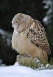 трястить сыча орла евроазиатский головной Стоковая Фотография RF