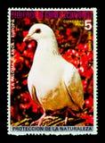Тряхните голубя Columba Livia, европейское serie птиц, около 1976 Стоковое Изображение RF