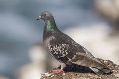 Тряхните голубя садить на насест на утесе обозревая Тихий океан - Сан стоковое фото rf