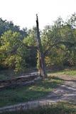 Трёхзубец дерева Стоковое Фото