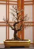 трёхзубец клена бонзаев Стоковые Фото