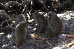 Туалет обезьяны Стоковое Изображение