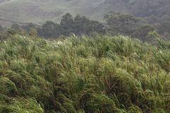 Туманная трава Стоковая Фотография