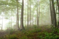 туманнейшая пуща Стоковые Фотографии RF