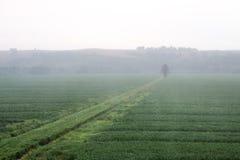Туманное поле урожая утра с линиями дерева и урожая Стоковое Изображение