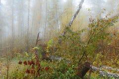 Туманное утро в древесинах осенью Утро, осень Стоковые Изображения