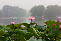 Туманное утро, парк Beihai, Пекин, лотос в переднем плане стоковые фотографии rf
