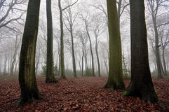 туманные древесины зимы Стоковая Фотография RF