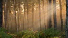 туманные древесины стоковые изображения