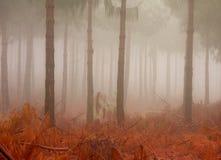 туманные стволы дерева сосенки Стоковая Фотография