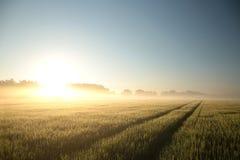 Туманный восход солнца весны над полем зерна стоковые изображения rf