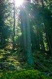 Туманный высокорослый пейзаж соснового леса Стоковая Фотография