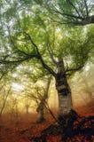 Туманный день в лесе каштана столетий старом Стоковые Изображения RF