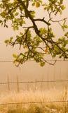 туманный дуб утра стоковое фото rf