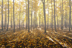 Туманный лес гинкго стоковые фото