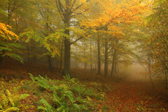Туманный лес осени с красочными деревьями Стоковое Изображение RF
