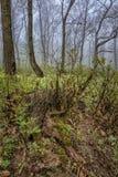 Туманный лес утра Стоковая Фотография