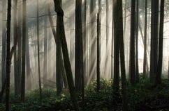 Туманный лес Стоковые Фотографии RF