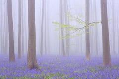 Туманный зацветая лес bluebell Hallerbos в Бельгии Стоковое Фото