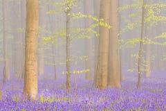 Туманный зацветая лес bluebell Hallerbos в Бельгии Стоковые Фото