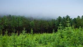Туманный зеленый лес, туман двигает над деревьями Сибирское taiga, 4k, промежуток времени видеоматериал