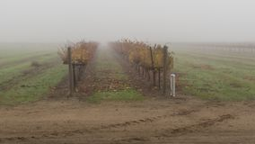 Туман в винограднике стоковая фотография
