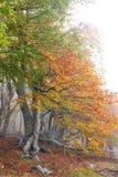 Туман в пуще бука осени. Крым Стоковые Изображения