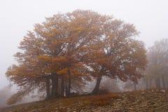 Туман в пуще бука осени. Крым Стоковая Фотография RF