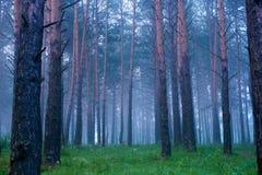 Туман в coniferous лесе после дождя на зоре Стоковое Фото