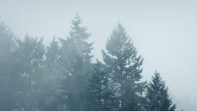 Туман кладет большие лесные деревья в кожух акции видеоматериалы