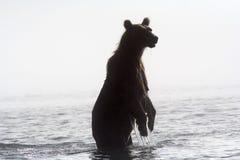 туман медведя стоковая фотография rf