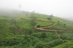 Туман над плантациями чая Стоковое Изображение RF