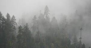 туман поднимая в утро, сосны горы 4k тумана, Bomi County в Тибете сток-видео