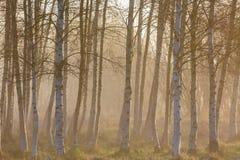 Туман утра в древесинах дерева березы Стоковое Изображение RF