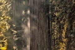 Туман утра на дереве Redwood Стоковая Фотография RF